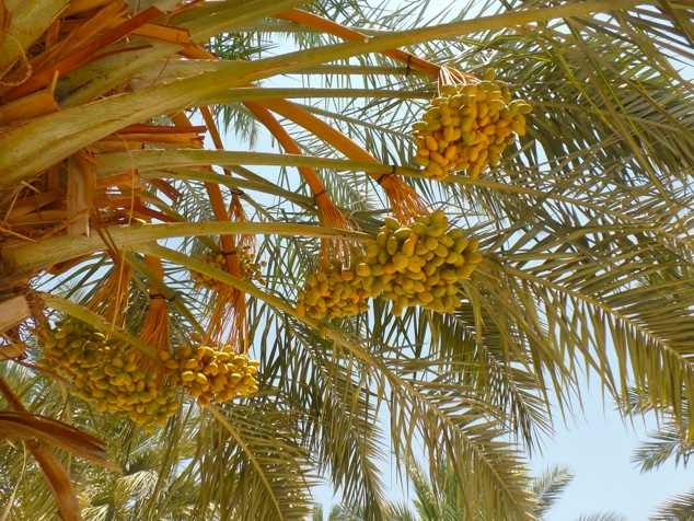 date palm from the family orchard
